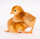 Baby Chick Newborn Farm Chickens Standing White Rhode Island Red — Stock Photo