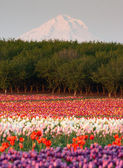 Mount Hood Fruit Orchard Tulip Field Flower Grower Farm — Stock Photo