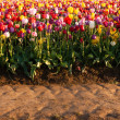 Neat Rows Tulips Colorful Flowers Farmer's Bulb Farm Tractor Path — Stock Photo