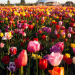 Neat Rows of Tulips Colorful Flowers Farmer's Bulb Farm — Stock Photo #45032647