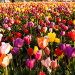 Neat Rows Tulips Colorful Flower Petals Farmer's Bulb Farm — Stock Photo #45032667