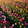 Neat Rows of Tulips Colorful Flowers Farmer's Bulb Farm — Stock Photo
