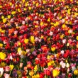 Neat Rows of Tulips Colorful Flowers Farmer's Bulb Farm — Stock Photo #45190779