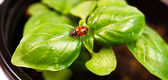 New Start PLant Sweet Basil Herb Leaf Ladybug Insect — Stock Photo