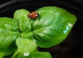Yeni başlangıç bitki fesleğen bitki yaprak böceği böcek — Stok fotoğraf