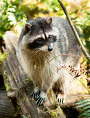 Wild Animal Raccoon Foraging Fallen Logs Nature Wildlife Coon Omnivore — Stock Photo