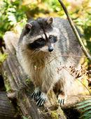 Wild Animal Raccoon Foraging Fallen Logs Nature Wildlife Coon Omnivore — Stock Photo
