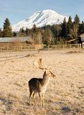 Beautiful Engaged Wildlife Male Buck Elk Antlers Horns Mount Rainier — Stock Photo