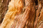 Large Living Cedar Tree Wood Grain Exposed — Stock Photo