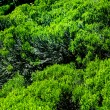 Thickets of rosemary — Stock Photo
