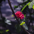 Red rose — Stock Photo #31460955