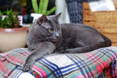 Surprised grey cat on checkered plaid — Foto de Stock