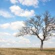 Dead tree at field — Stock Photo
