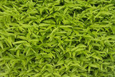 Green leaves pattern on bush — Stock Photo