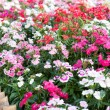 Stock Photo: Dianthus barbatus