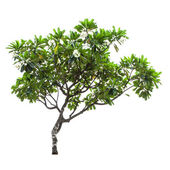 Luntom,Plumeria tree with flowers — Stock Photo