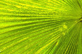 Texture of Green palm Leaf background. — Foto de Stock