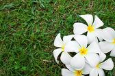 White frangipani flowers — Stock fotografie