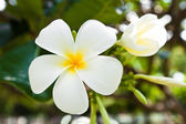 White frangipani flowers in park — Stock Photo