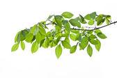 Green leave ,green leaf — Stock Photo