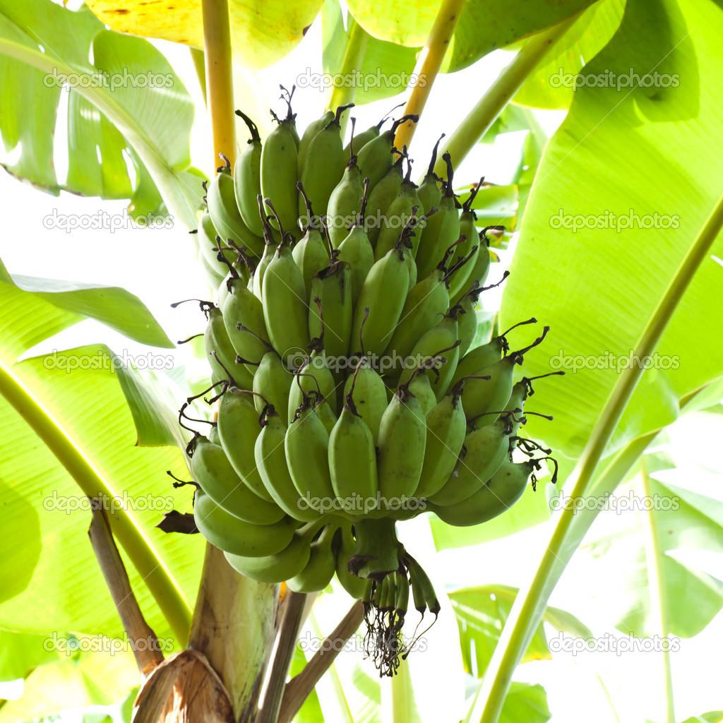 串香蕉香蕉树上– 图库图片