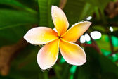 Drop of water on Plumeria, — Stockfoto