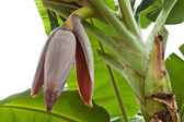 Banana flower isolate on white background — Stock Photo