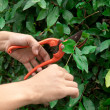Hands are cut bush clippers — Stock Photo #38231959