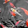 Stock Photo: Koi Carp