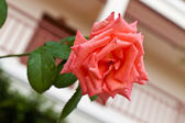 Beautiful pink rose in garden. — Foto de Stock
