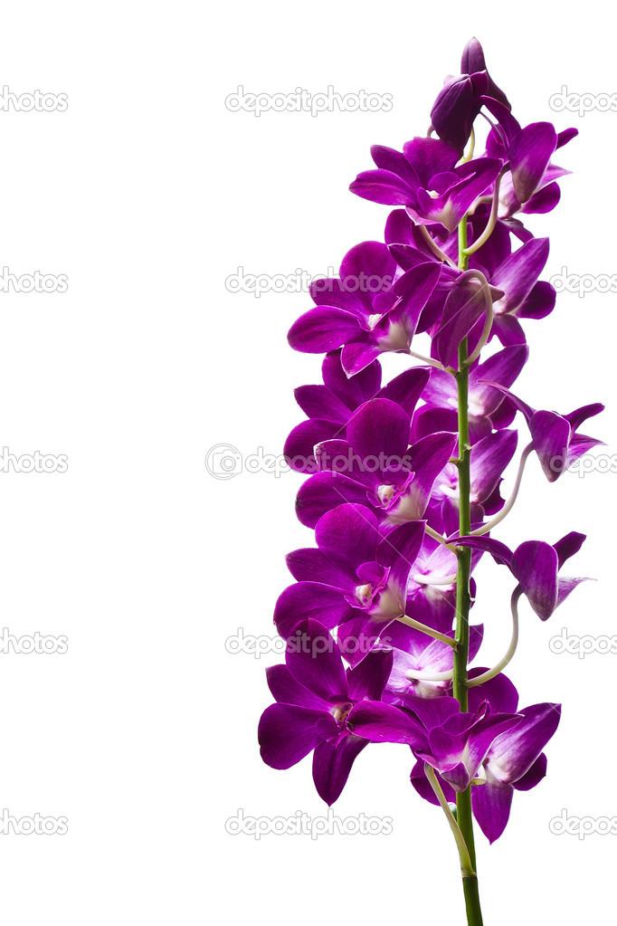 Orquídeas moradas aisladas sobre fondo blanco\u2014 Foto de saknakorn