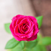 Red rose in a garden — Stockfoto