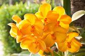 Vanda orkide çiçeği — Stok fotoğraf