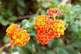 Lantana flowers — Stock Photo