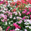 Stock Photo: Dianthus barbatus.
