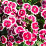 Flowerbed of Dianthus barbatus — Stock Photo #39386093
