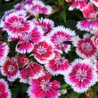 Flowerbed of Dianthus barbatus — Stock Photo
