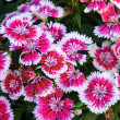 Stock Photo: Flowerbed of Dianthus barbatus