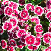 Flowerbed of Dianthus barbatus — Foto Stock