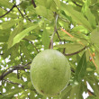 Cerbera oddloam fruit on tree — Stock Photo