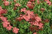 Red Ixora flower — Stock Photo
