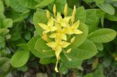 Yellow ixora — Stock Photo