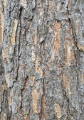 Bark of big tree — Stock Photo