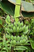 Trs banánů — Stock fotografie