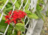 Ixora rouge fleur — Photo