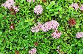 Ixora flower — Stock Photo