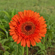 Gerbera flower — Stock Photo #32269677