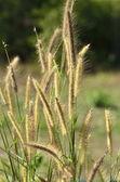 Grass flower — Stock Photo