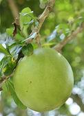 Calabash vegetable — Stock Photo