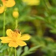 Little bee on marigold — Stock Photo #32529845